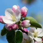 apple-blossom-